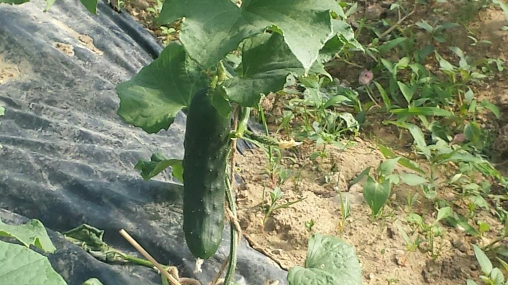 concombre-amap-49-voisin-panier