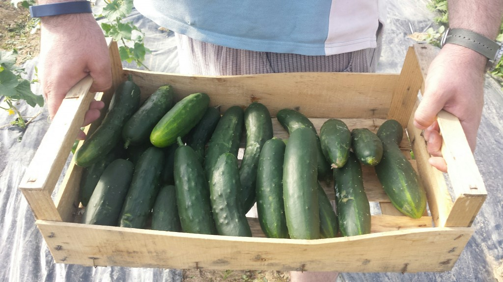 récolte-au-jardin-chez-nicolas