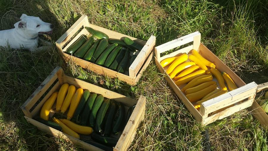 beaux-légumes-amap-49-voisin-panier