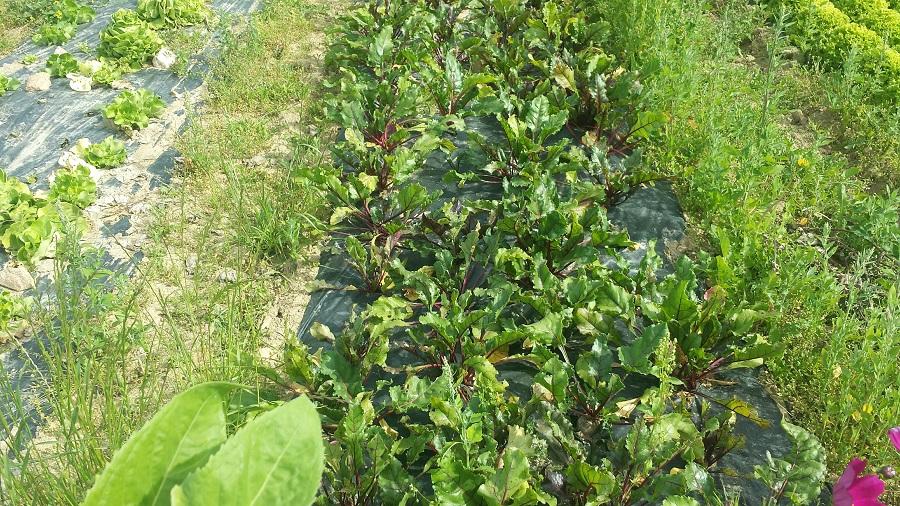 betteraves-salade-voisin-panier