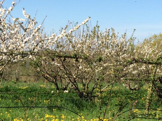 fruitiers-en-fleur-ronde-des-fruits-amap-49