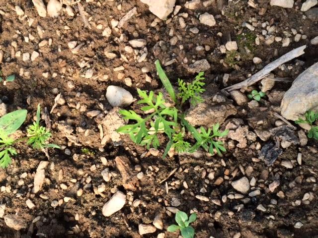 plan-carottes-nouvelles-amap49