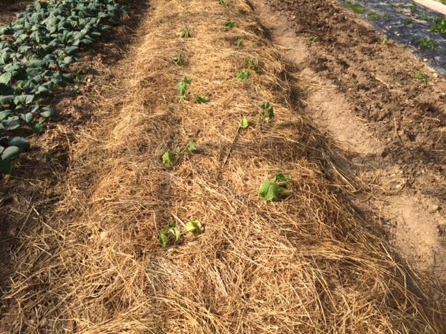 plan-concombre-sur-lit-de-foin-grand-jardin-amap-498