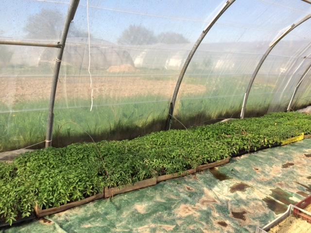 plans-tomates-ete-2015-grd-jardin49