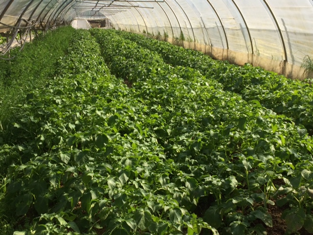 pomme-de-terre-nouvelles-grd-jardin49