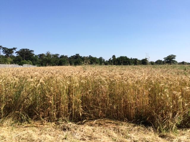 champ-cereales-grd-jardin49