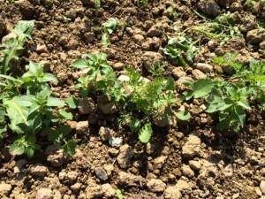 jeunes-carottes-non-desherbe-amap49