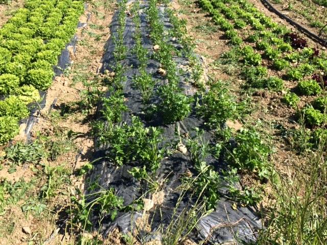 persil-salades-grd-jardin49