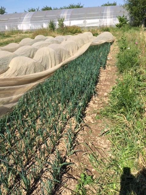 plan-poireaux-hiver-prochain-grd-jardin