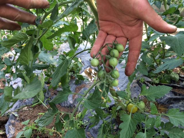 tomates-cerises-grd-jardin