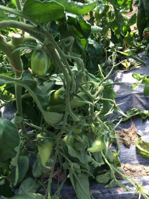 tomates-longues-grd-jardin49