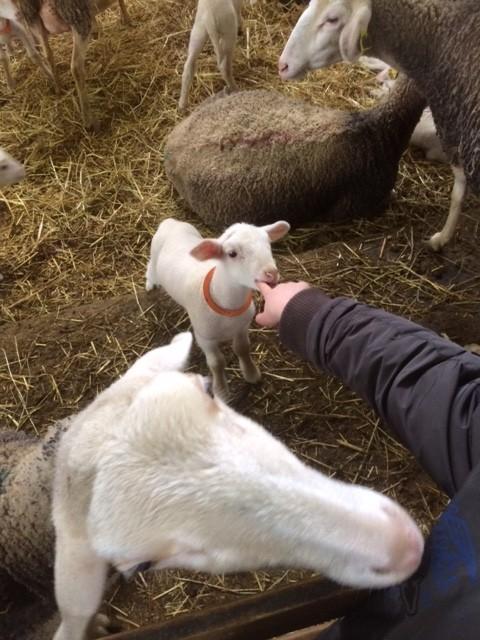 agneau-tete-fromagerie-laviolaie