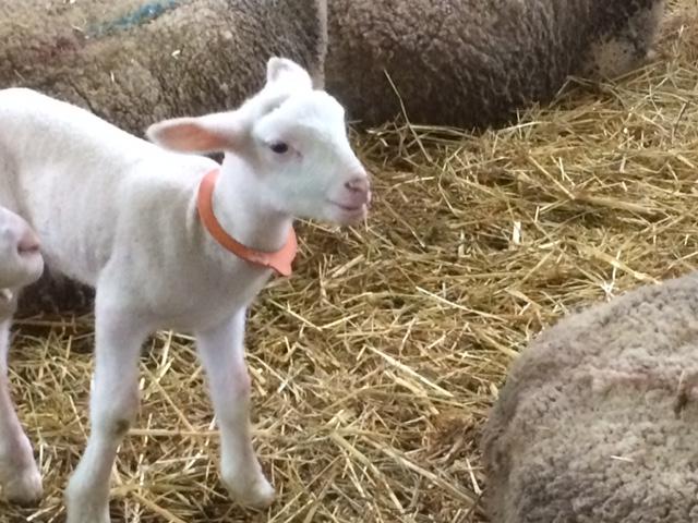 agneau-violaie-amap49