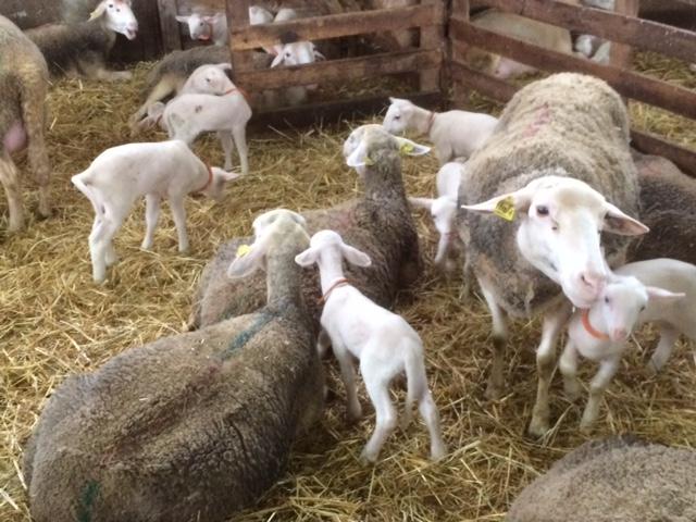 brebis-agneau-la-violaie49