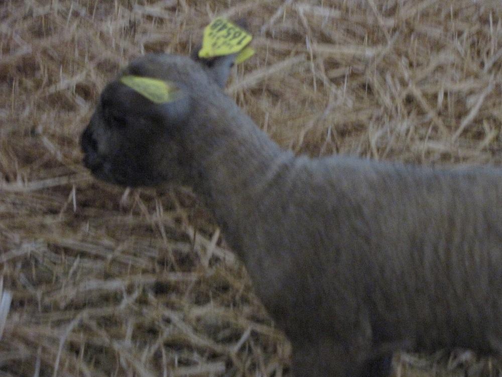 agneau-noire-pour-laine-noire-casserie