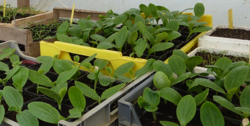 courgette-grd-jardin