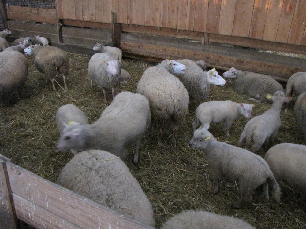 moutons-casserie-au-chaud-pour-hiver