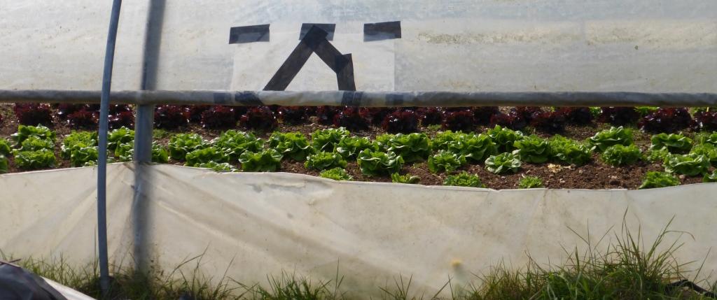 salades-amap-voisins-panier